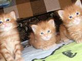 Солнечные котята породы мейн-кун из питомника