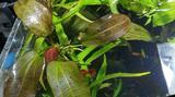 Растения аквариумные - Эхинодорусы